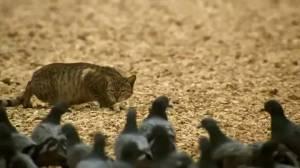 კატა მტრედებს ეპარება