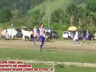 პერუს თასს ძროხები შეესივნენ (ვიდეო)