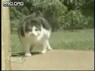 قطة ضخمة جدا